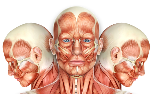 Facial Anatomy - Aesthetics
