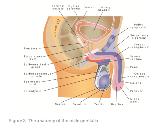 Penile Augmentation Aesthetics